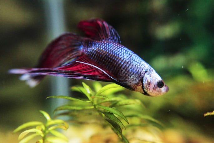 a happy betta fish