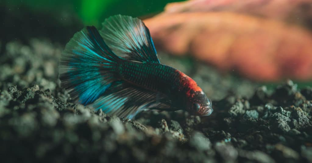 betta fish diseases and ailments
