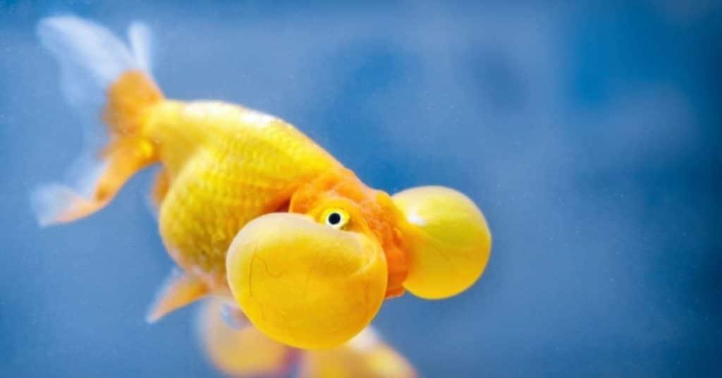 bubble eye goldfish water parameter