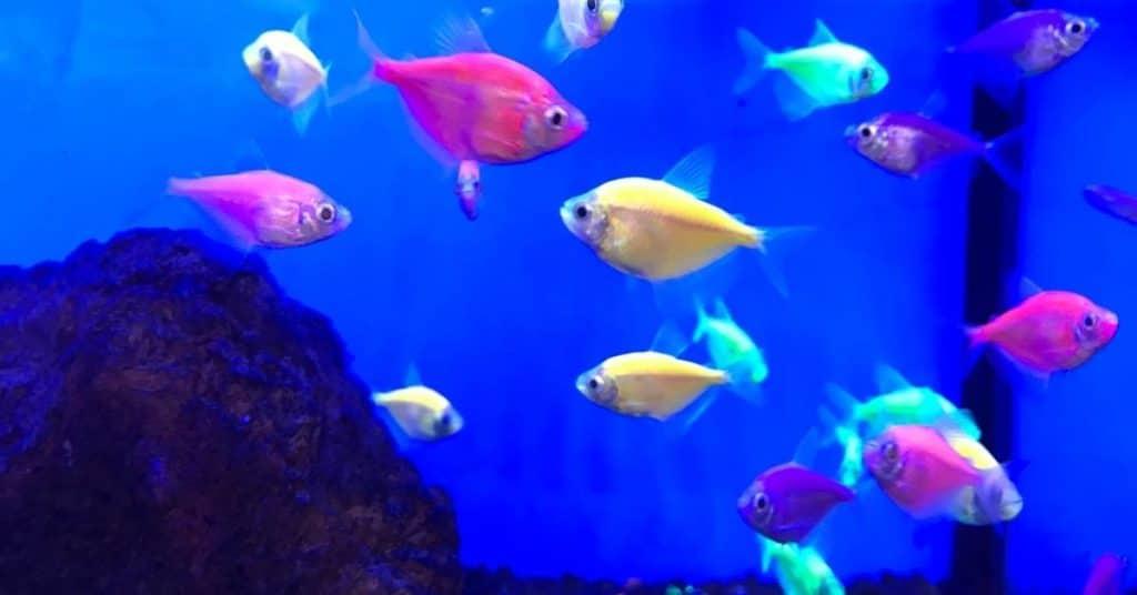 glo fish tetras