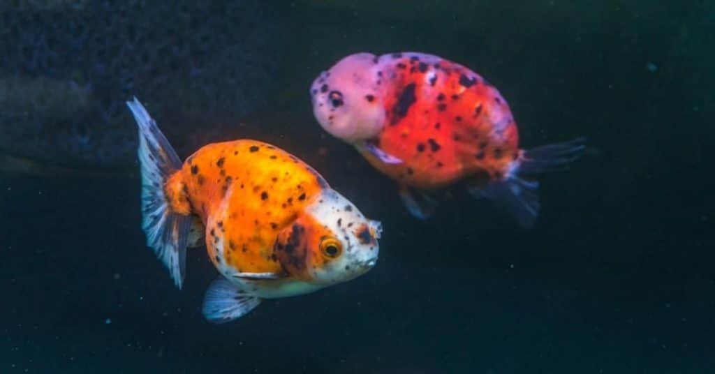japanese ranchu goldfish