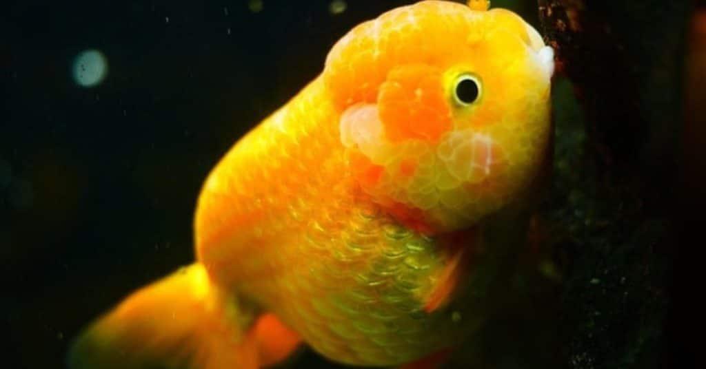ranchu goldfish info