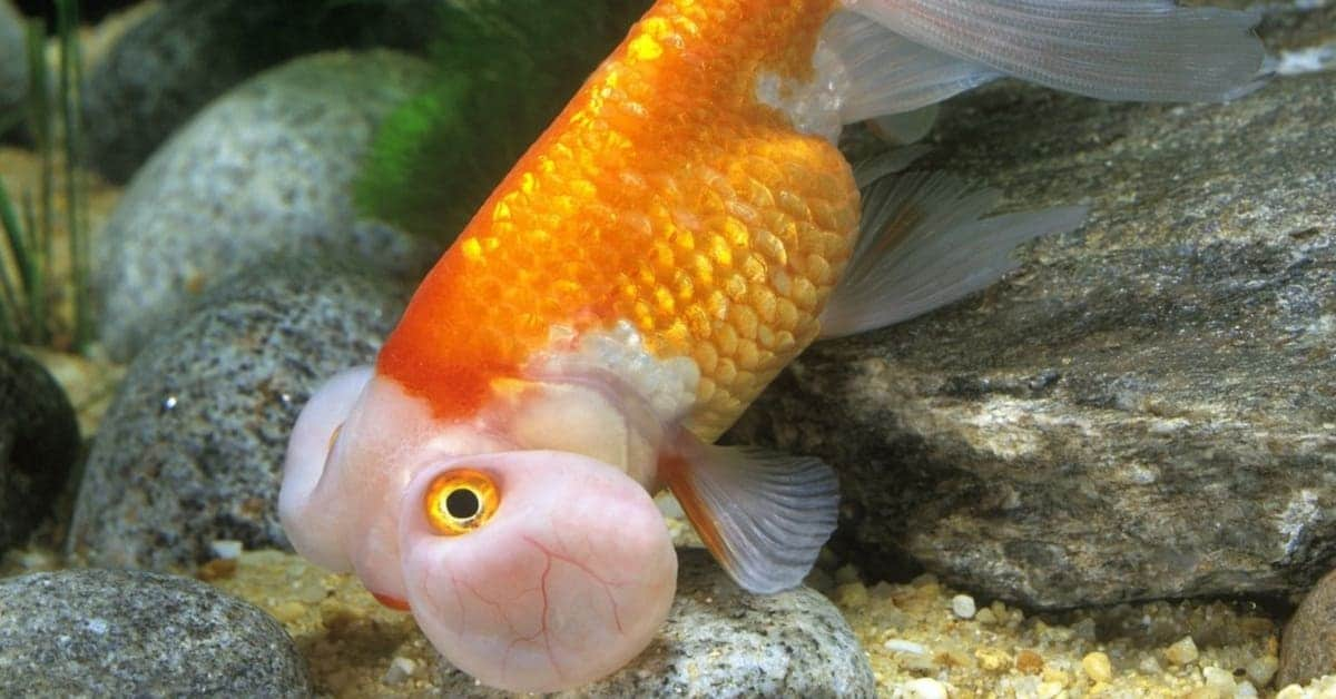 what to feed bubble eye goldfish