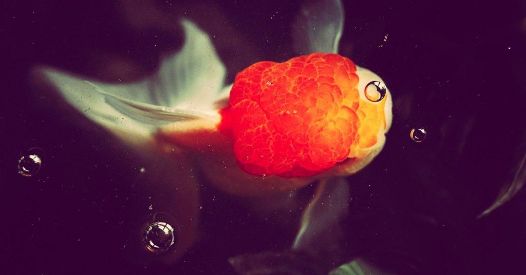 oranda goldfish care guide