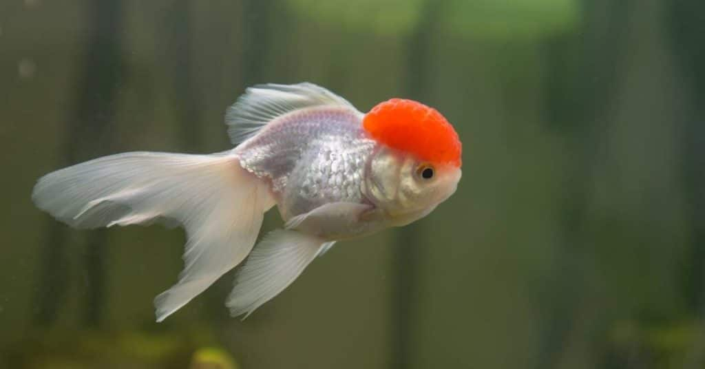 red cap oranda fancy goldfish
