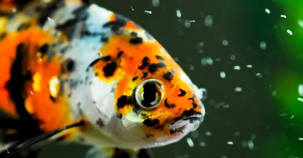 Shubunkin Goldfish tank size