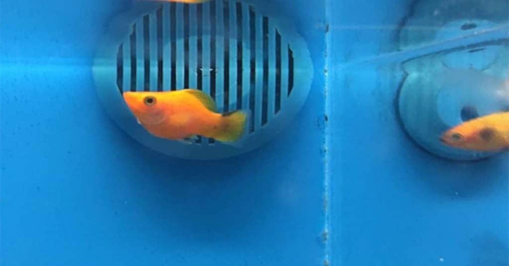 golden sailfin molly fish