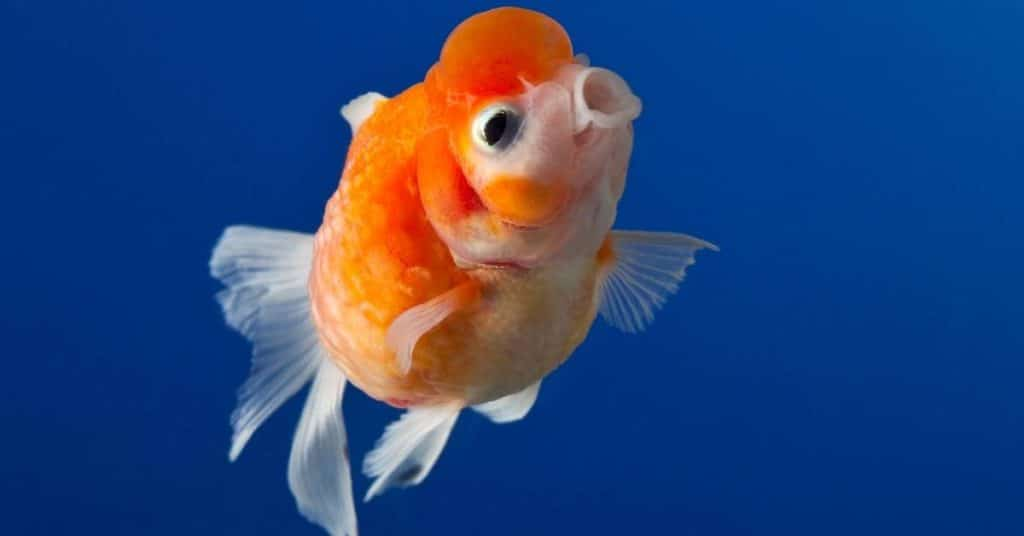 pearlscale goldfish care