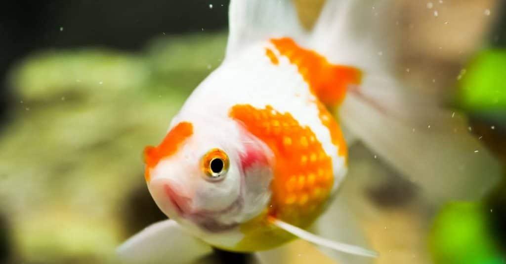 pearlscale goldfish tank size